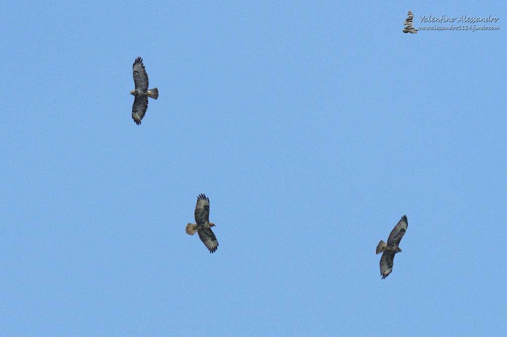 Poiane in volo (Parco Adda Nord, Agosto 2016)