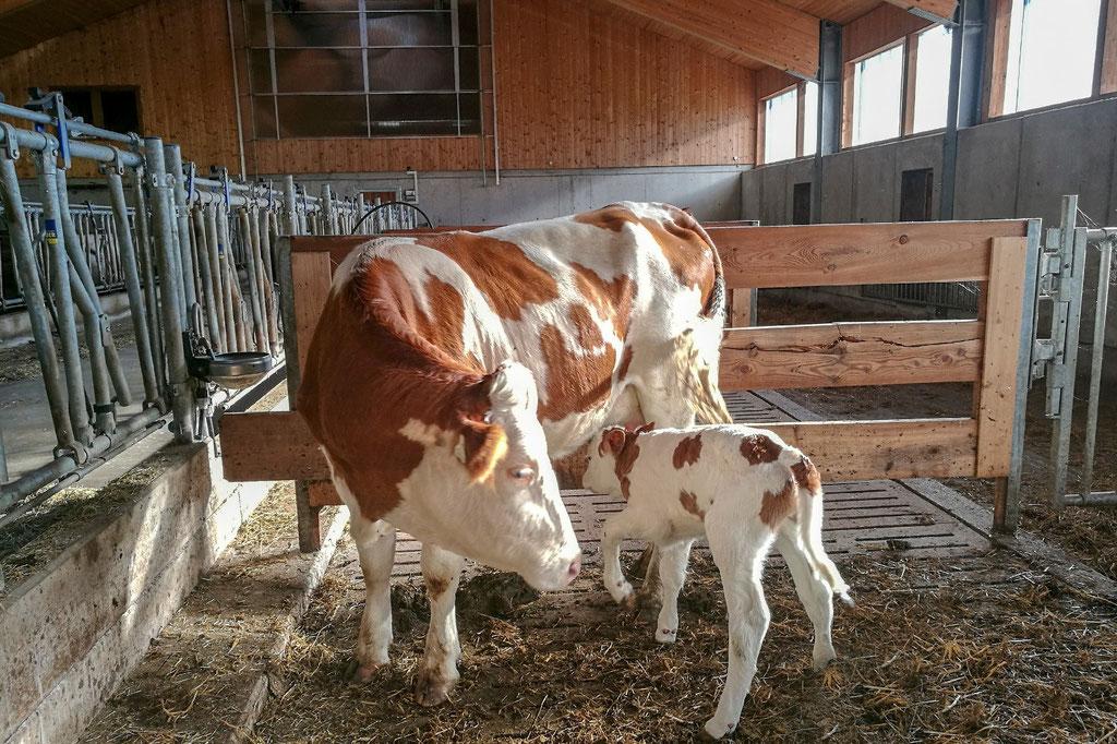 Glückliche Kühe am Gut Grub & Schiedstein