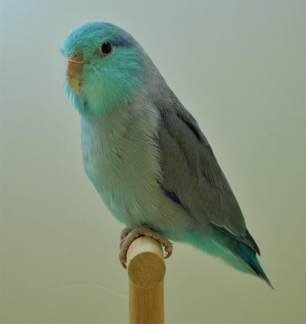 Käfig-Nr. 205 DM Blaugenick Sperlingspapagei blau Prädikat: V