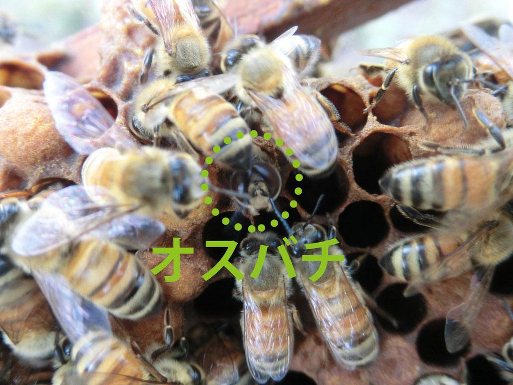 オスバチがフタを破って羽化するところ。