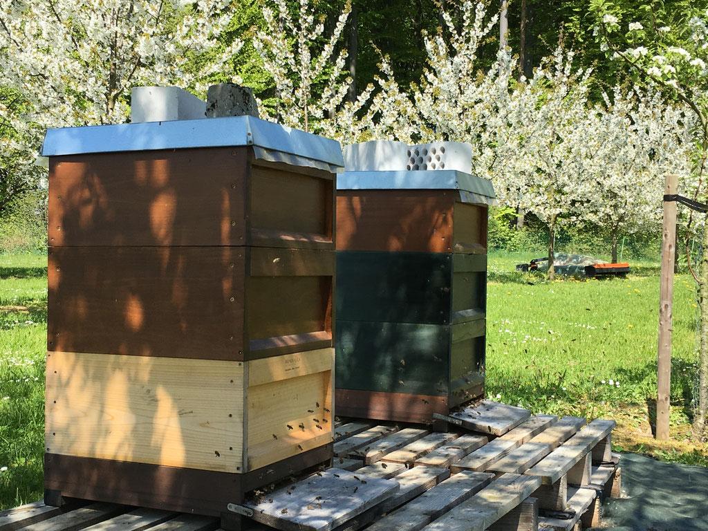 Bienenstand in der Kirschblüte