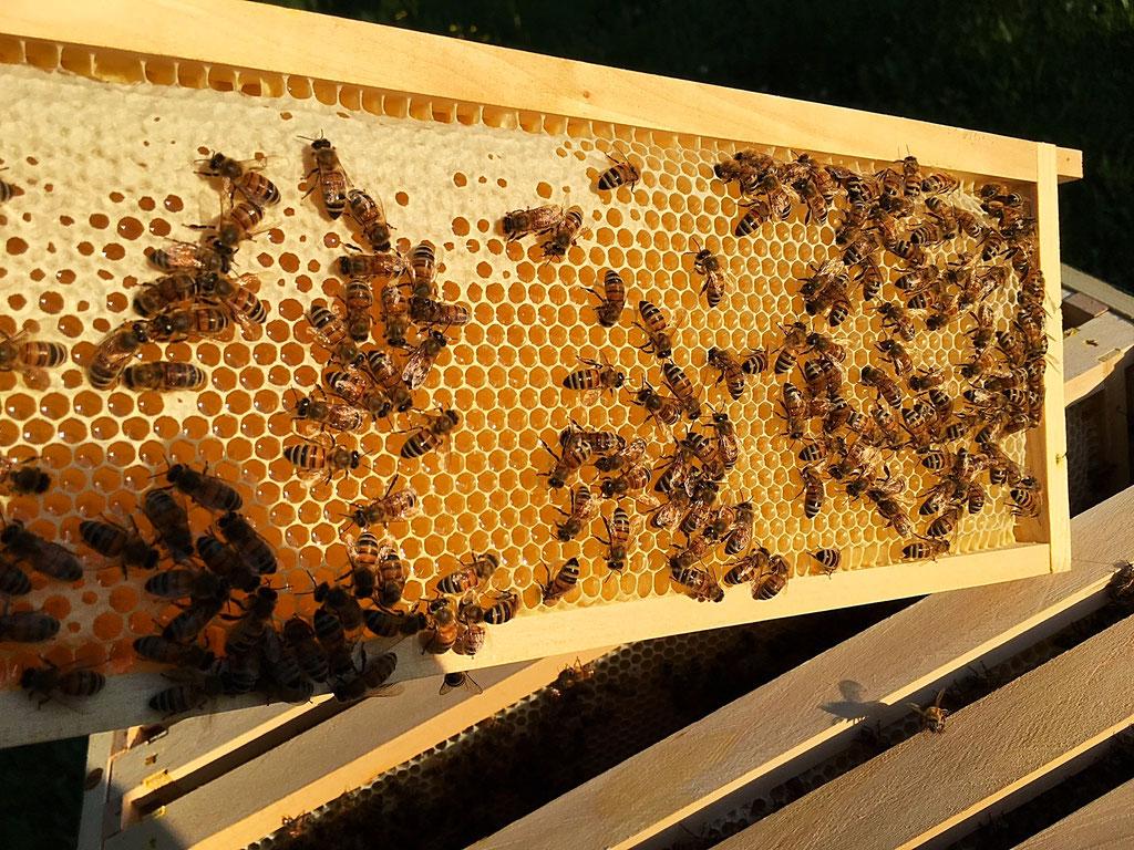 Dadant-Honigwabe beim Verdeckeln