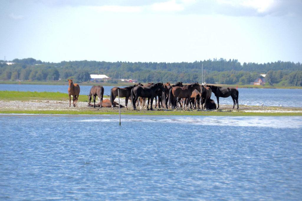 Mariagerfjord Pferde