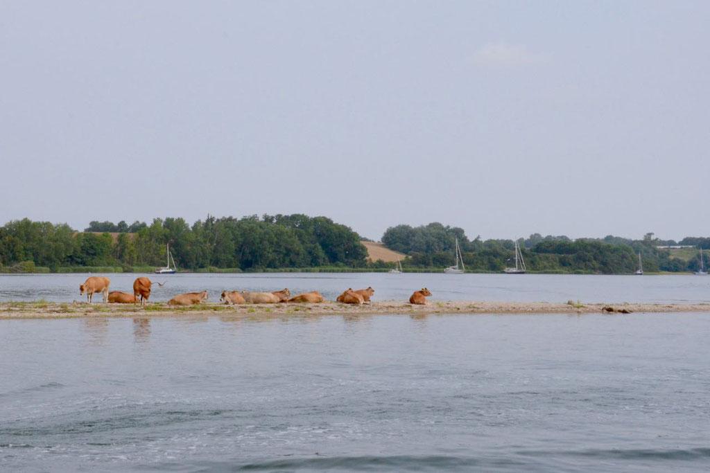 Dyvig Kühe am Meer