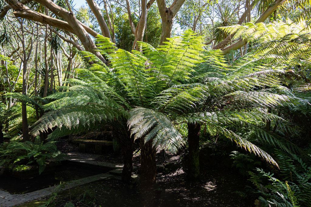 Riesige Farne könnt Ihr im Jardin Botranique de Vauville entdecken.