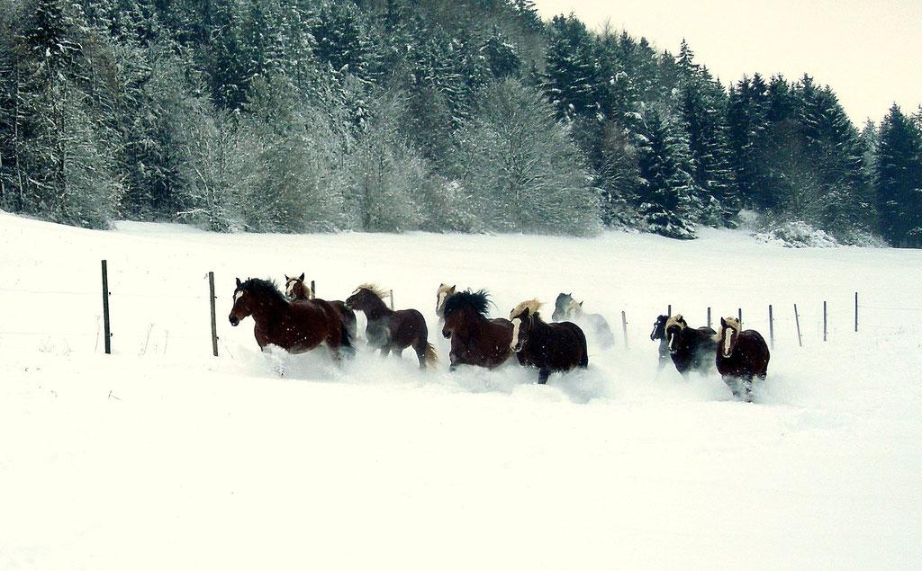 Schwarzwälder Kaltblut Stuten im Schnee