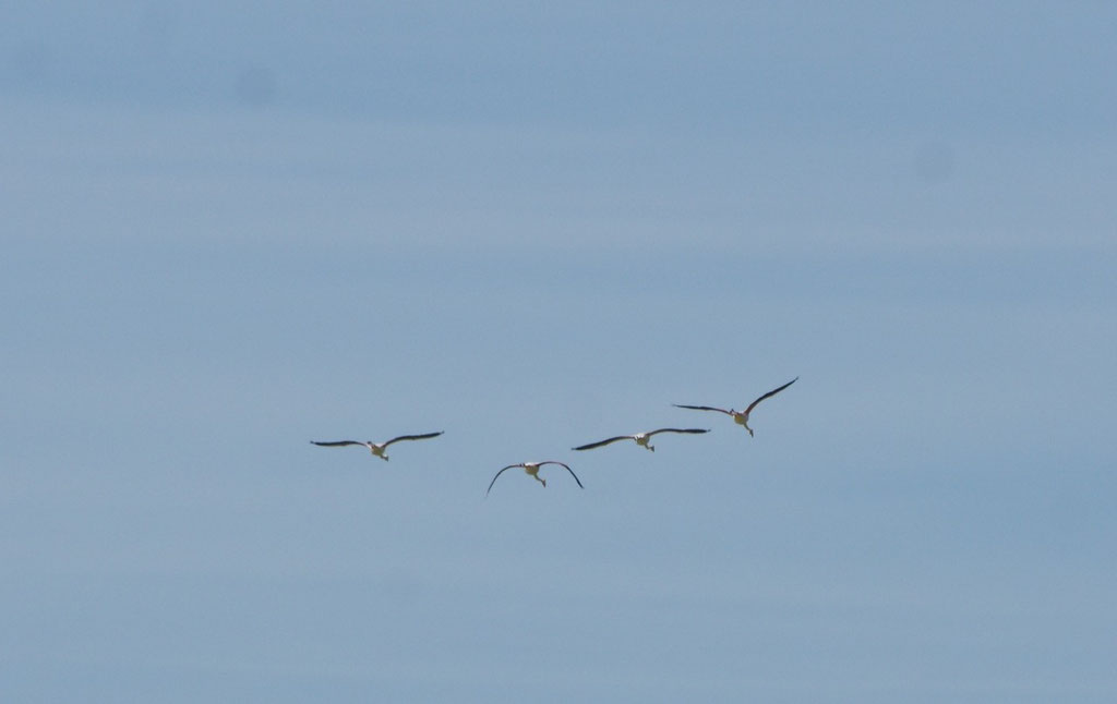 Am Himmel ein paar Flamingos