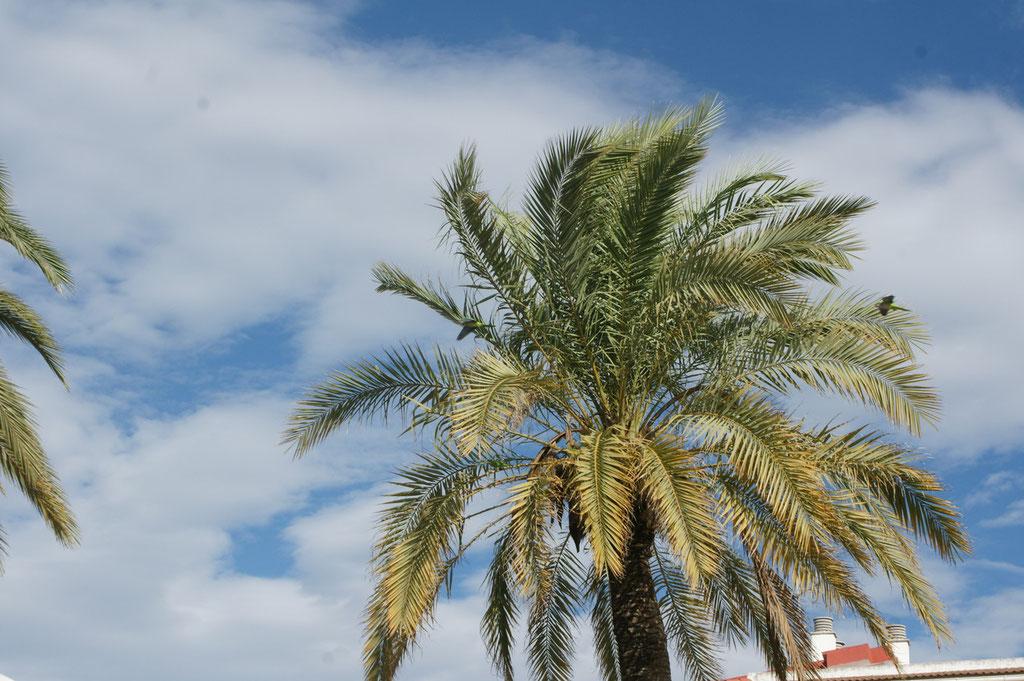 Die Sittiche wohnen in Gruppen in den Palmen..