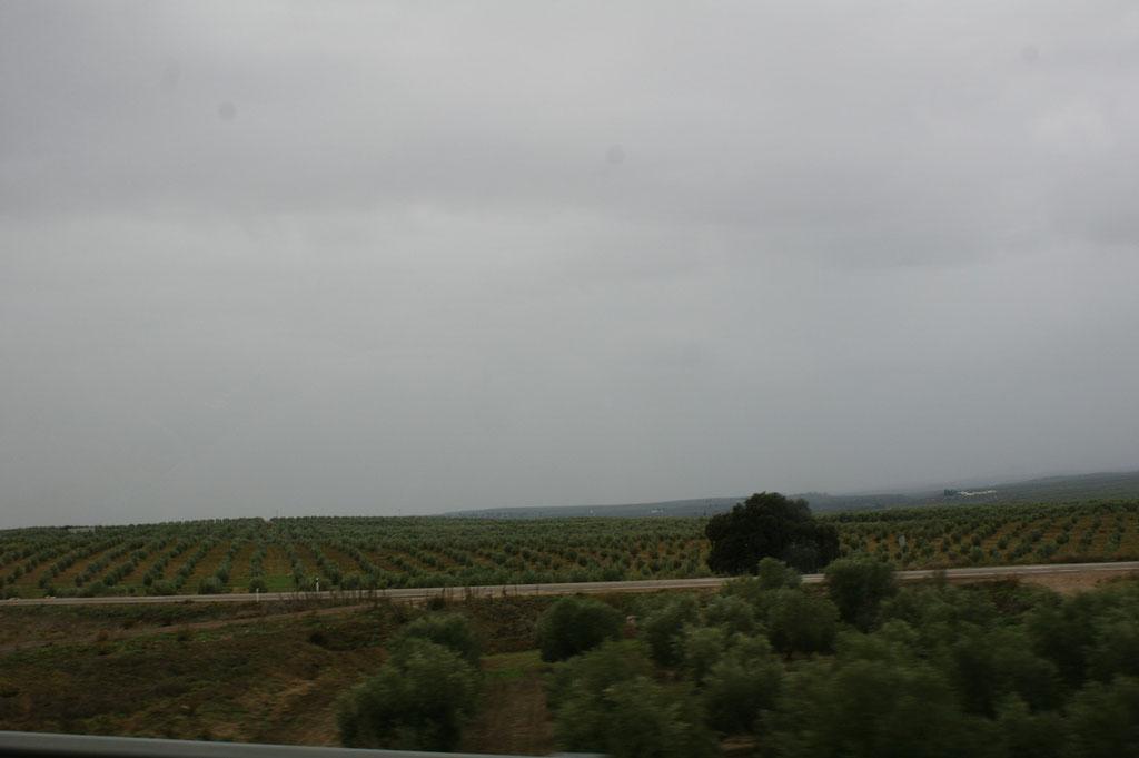 Olivenplantagen soweit das Auge reicht
