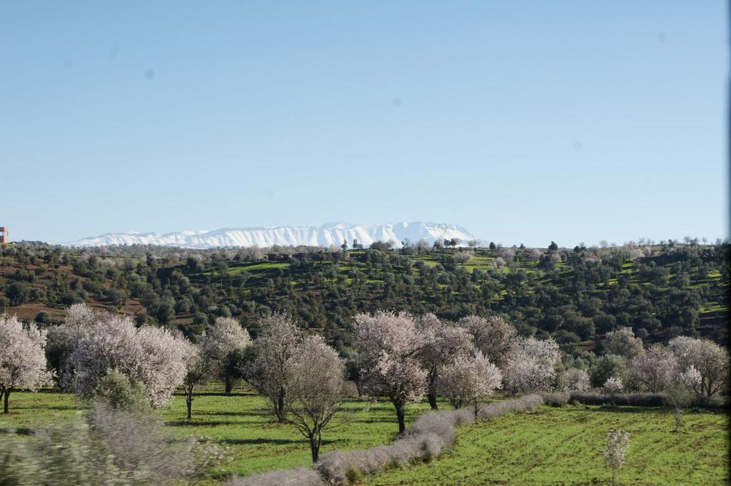 Vorne die blühenden Bäume und hinten der verschneite hohe Atlas