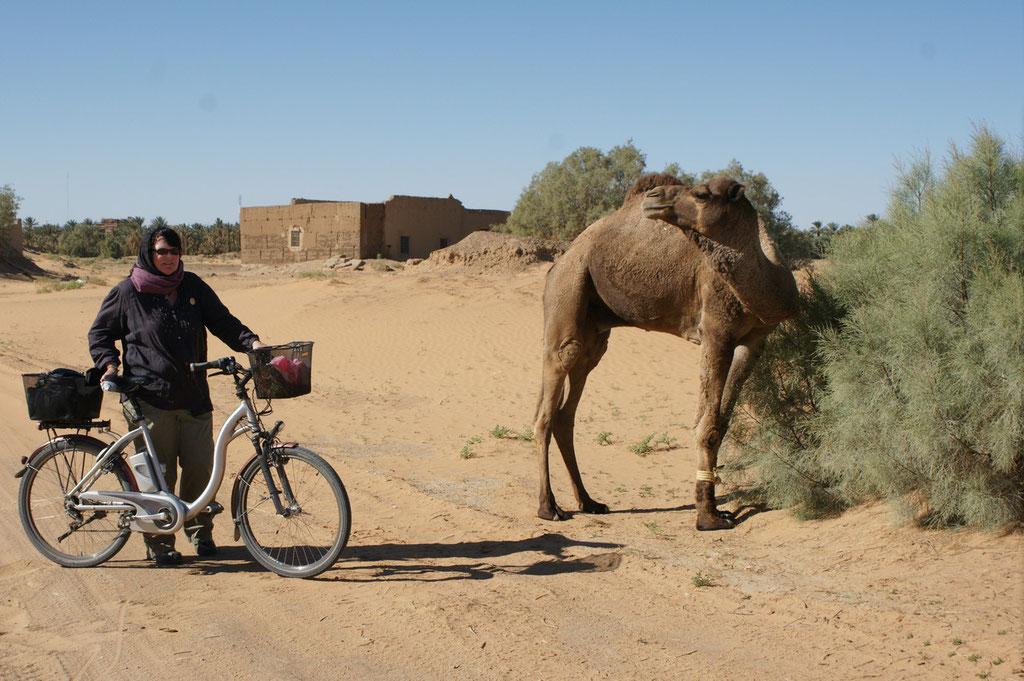 Das Kamel scheint nicht erstaunt über Fahrräder am Chebi
