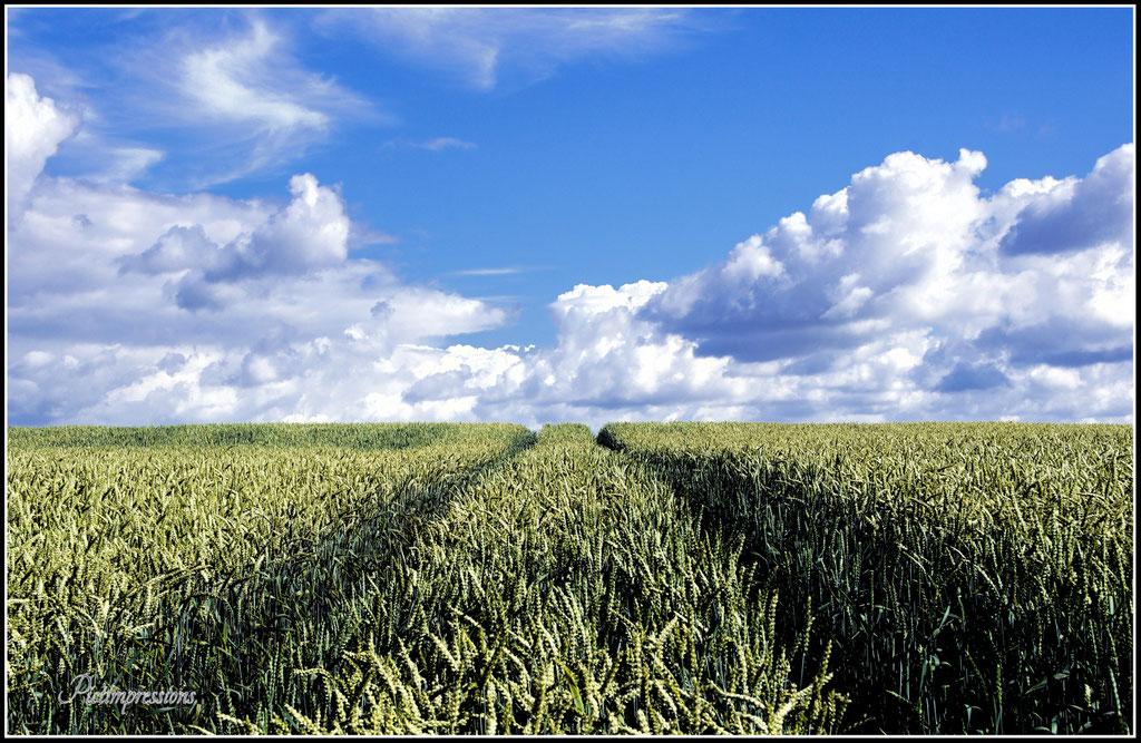 Corn field / Parstein