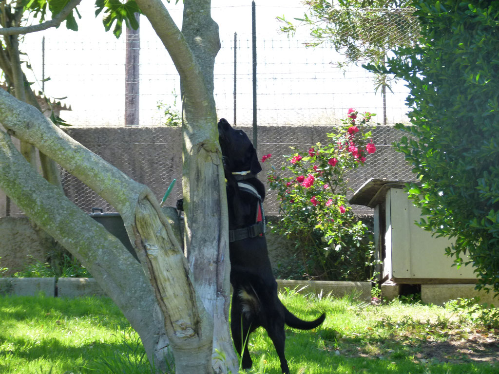 Asiatischer Laubholzbockkäfer Maisha Spürhund