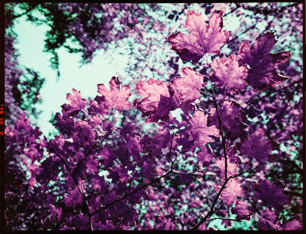 Purple autumn leaves | Lomochrome Purple film