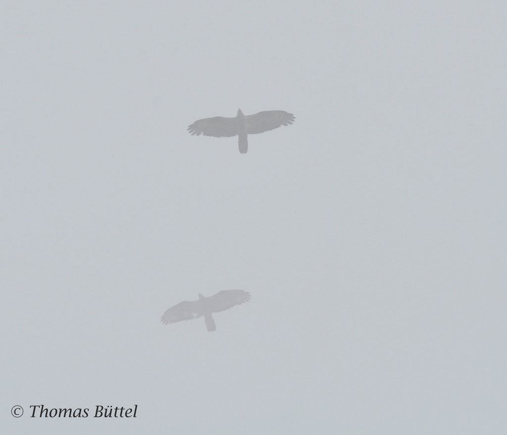 Wespenbussard im Nebel