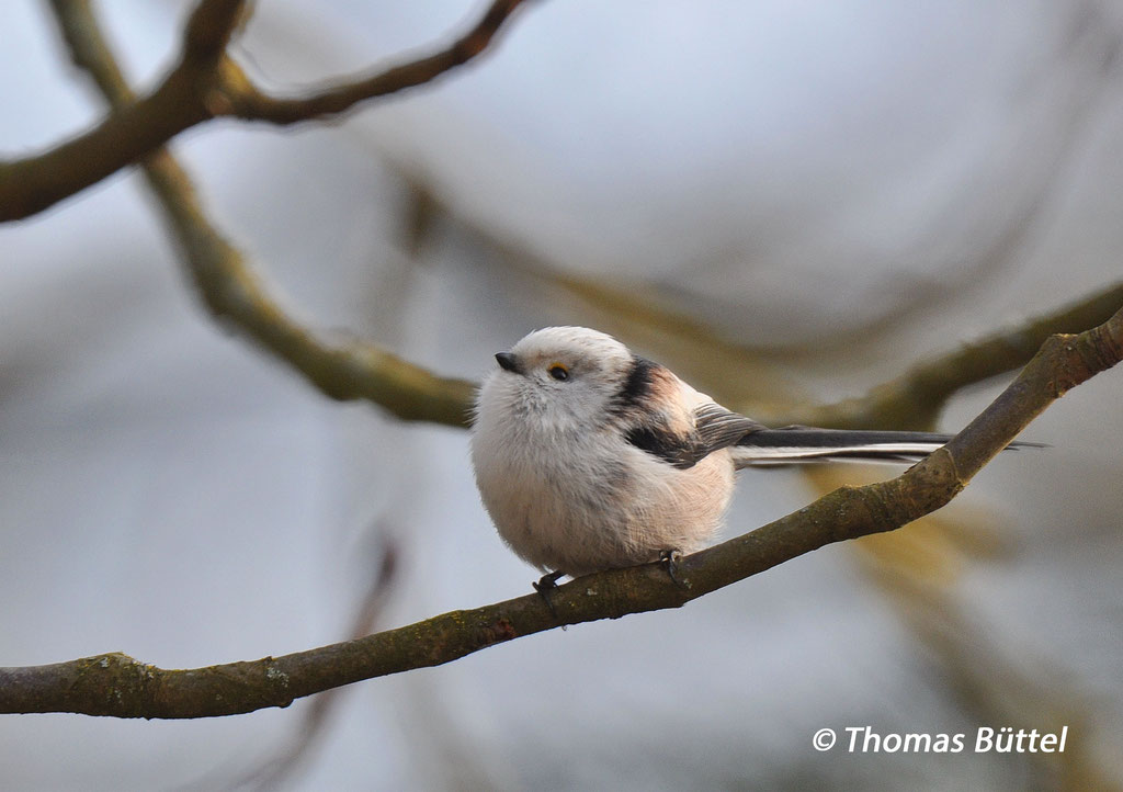 white-headed Long-tailed Tit ssp. europaeus (type CE referring to the ornitho-de-classification)