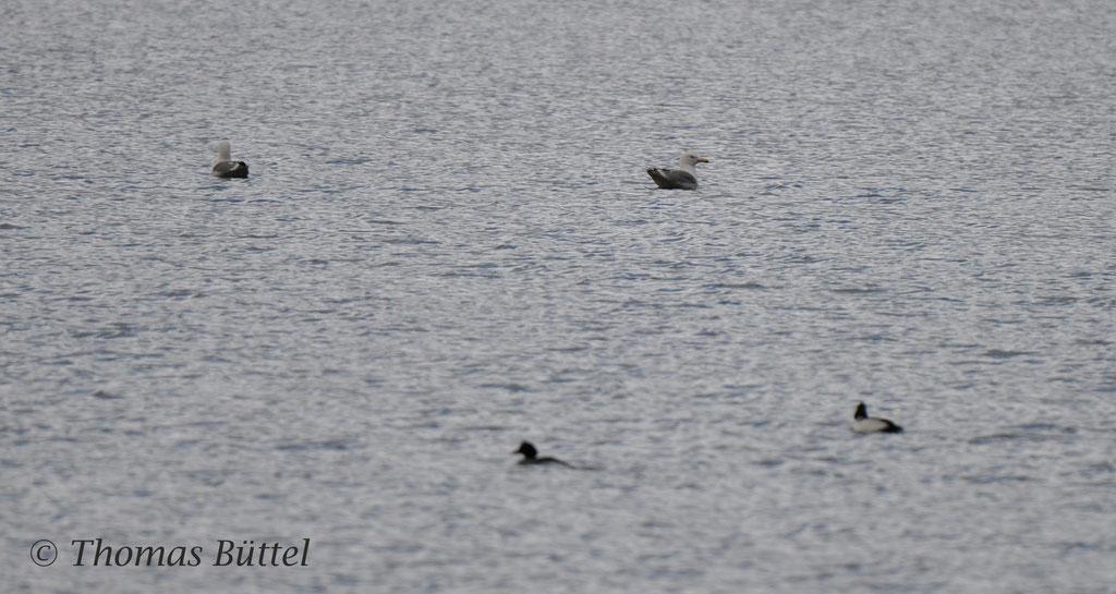 Caspian Gulls (background), Goldeneyes (foreground)