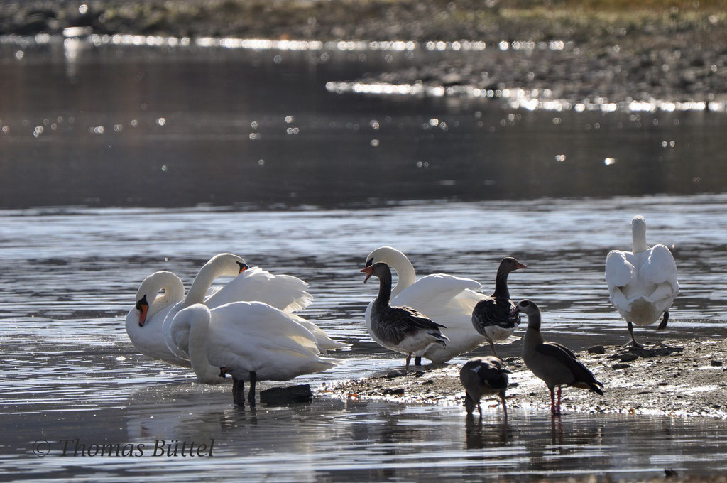 Mute Swans, Greylags and Egyptian Geese