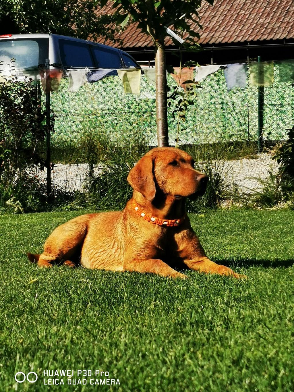 Nelly von Wickenhof Ammerlandtal Labrador Foxred