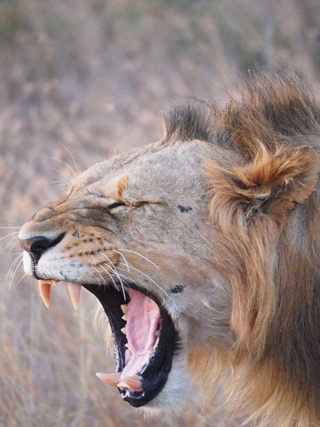 Kenia, Laikipia Plateau: gähnender Löwe