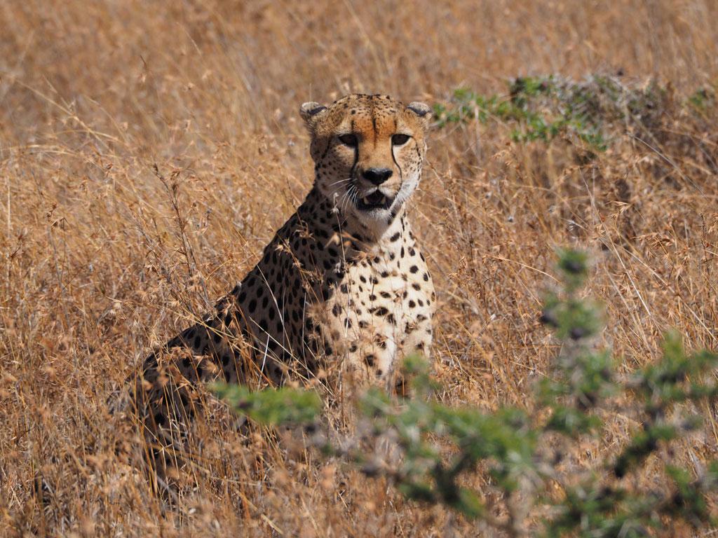 Kenia, Laikipia Plateau: Gepard
