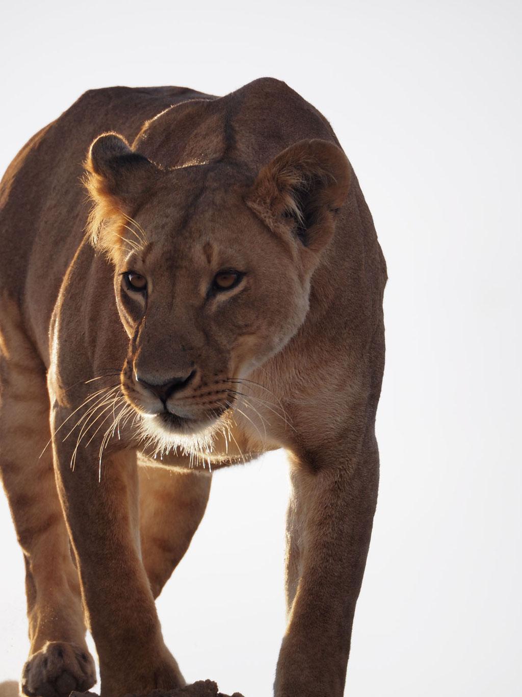 Kenia, Laikipia Plateau: Löwin