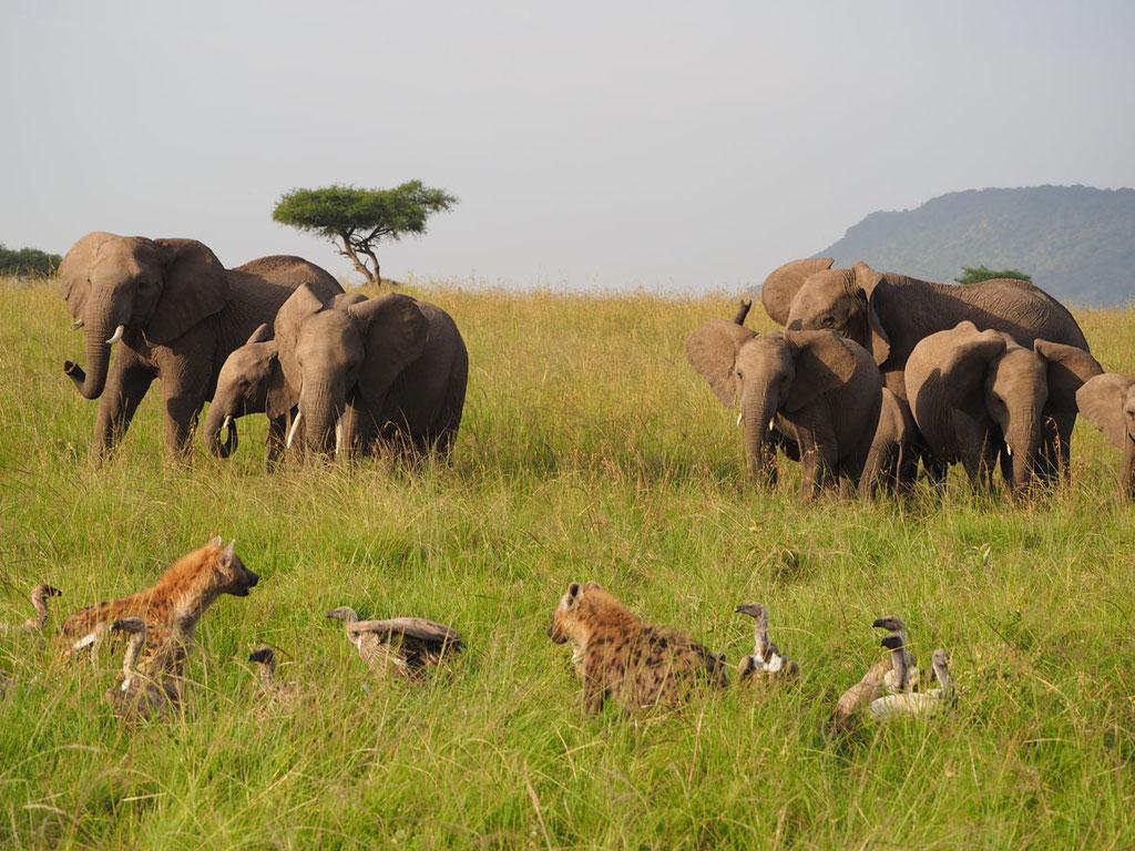 Kenia, Masai Mara: Elefantenfamilie im Hintergrund, im Vordergrund Geier und Tüpfelhyänen an einem Kadaver