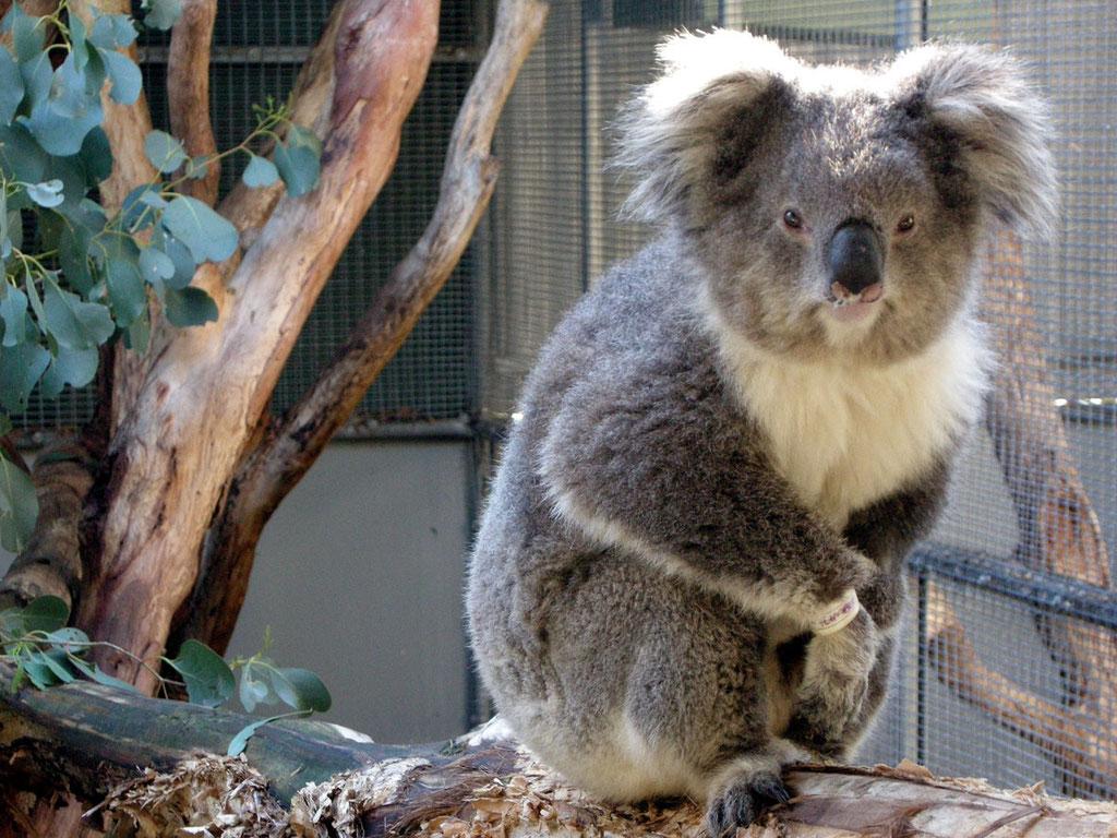 Australien/Victoria: Koala im Tierhospital von Healesville