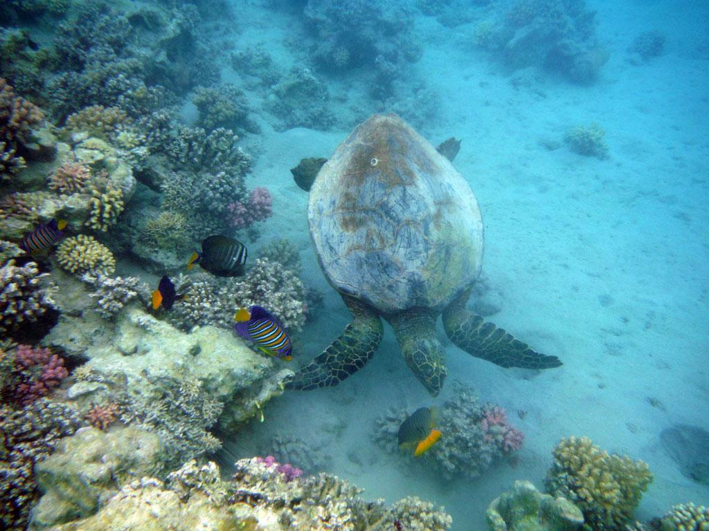 Ägypten: Schildkröte im Roten Meer