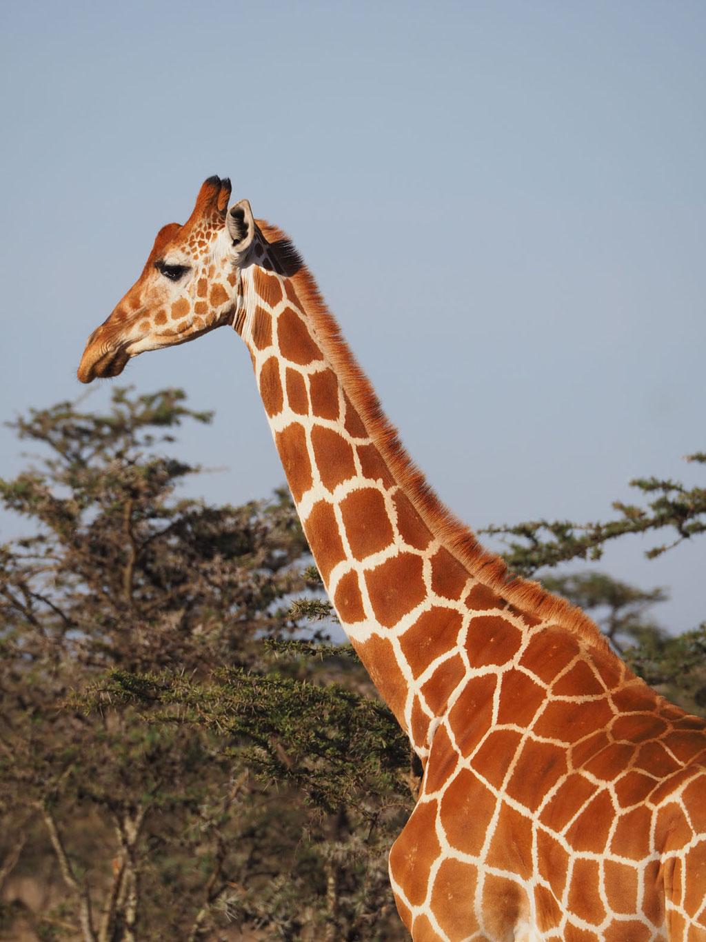 Kenia, Laikipia Plateau: Netzgiraffe