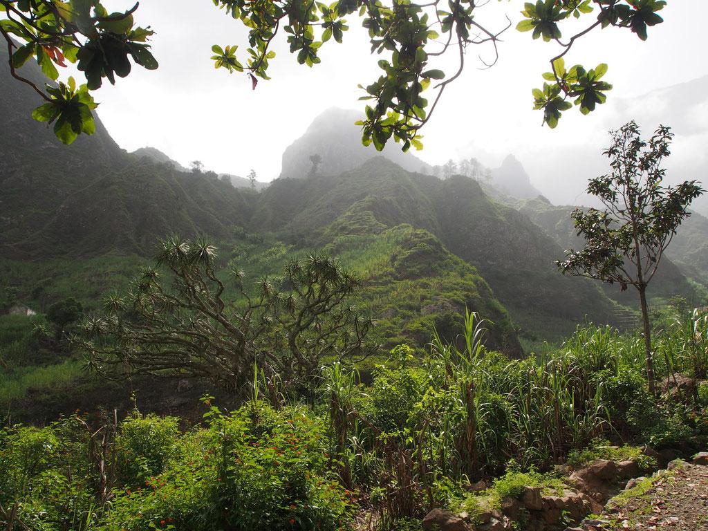 Kapverden: tropisch grünes Tal Ribeira do Paúl mit Drachenbaum auf Santo Antão