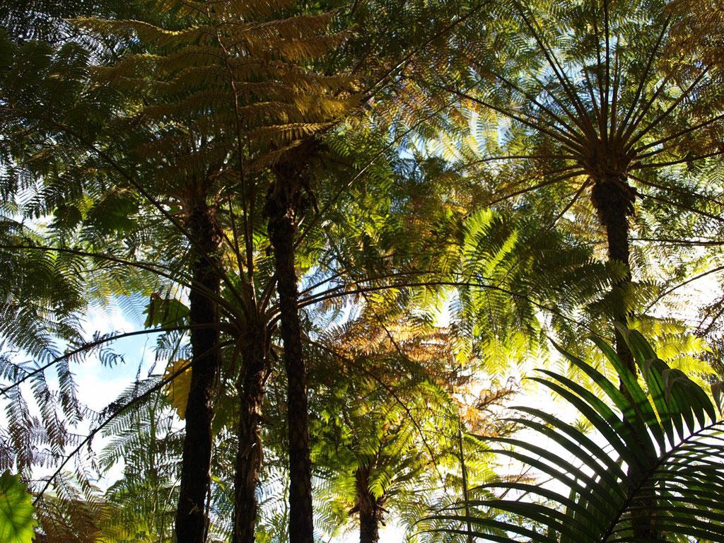La Réunion: Baumfarn-Hain