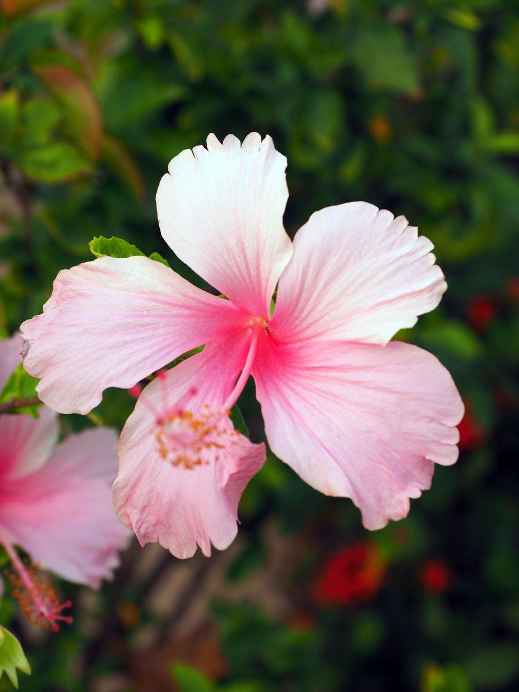 Sri Lanka: Hibiskusblüte