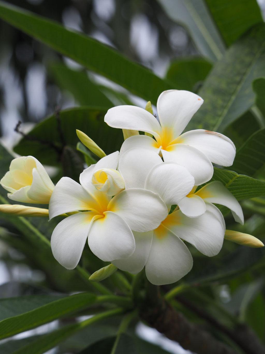 Französisch Polynesien/Raiatea: Frangipani-Blüte, genutzt zum Flechten von Blütenkränzen
