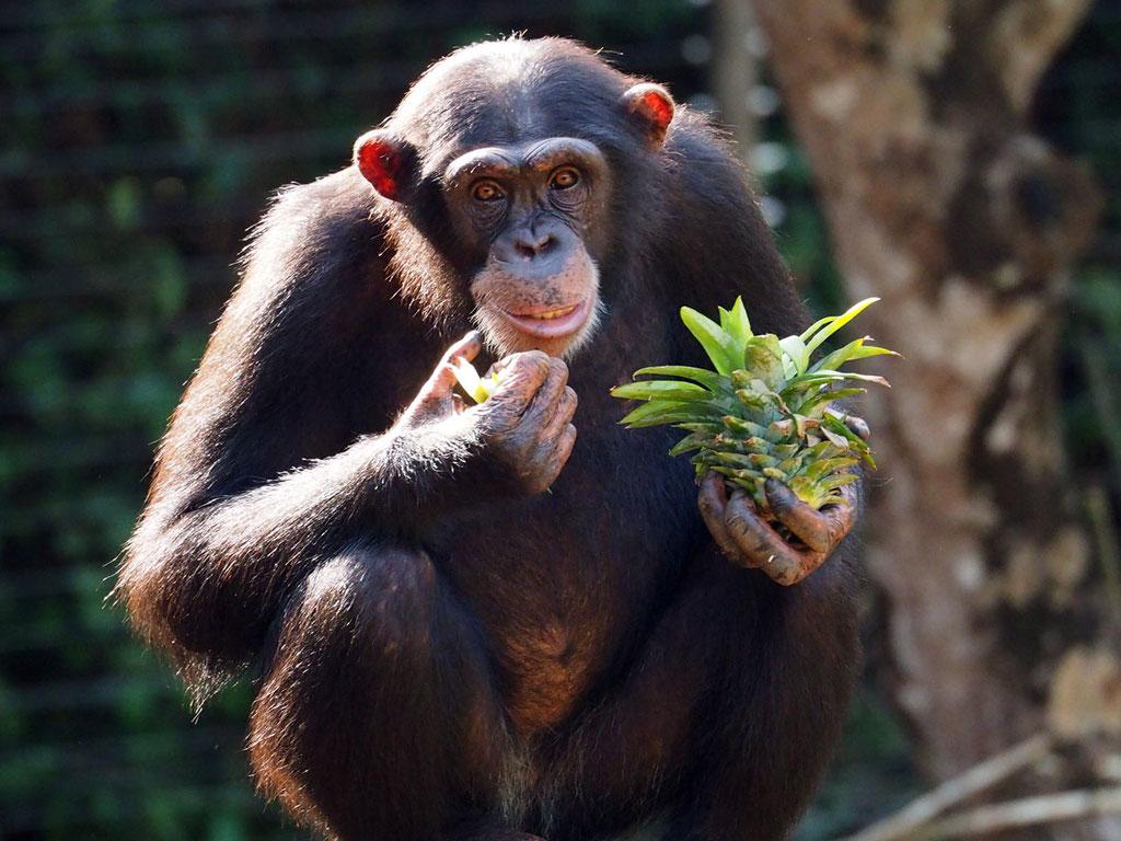 Sierra Leone, Westafrika: Schimpanse im Tacugama Chimpanzee Sanctuary