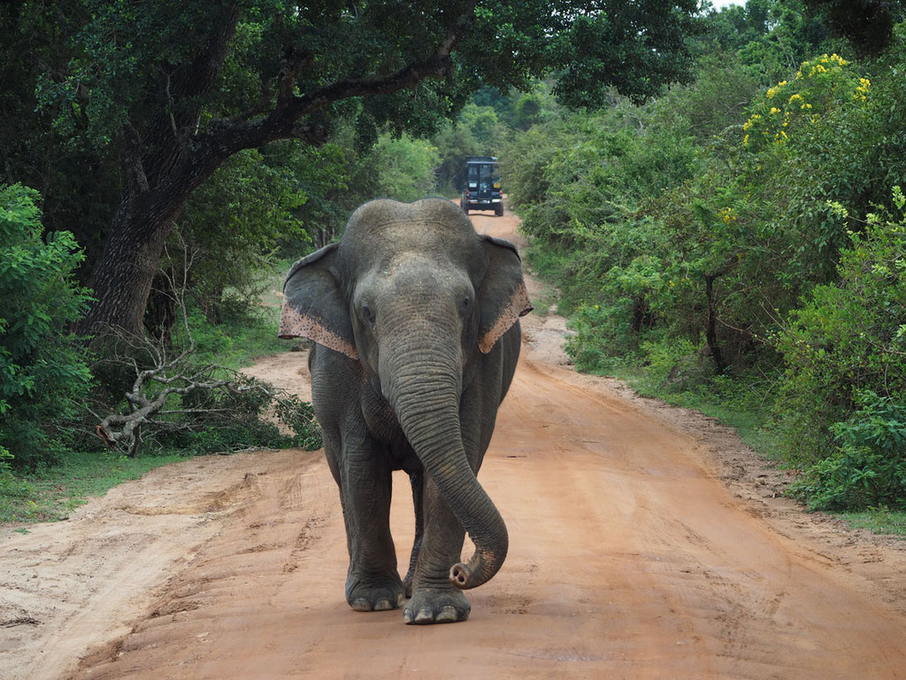 Sri Lanka, Yala Nationalpark: Asiatischer Elefant, Jungbulle