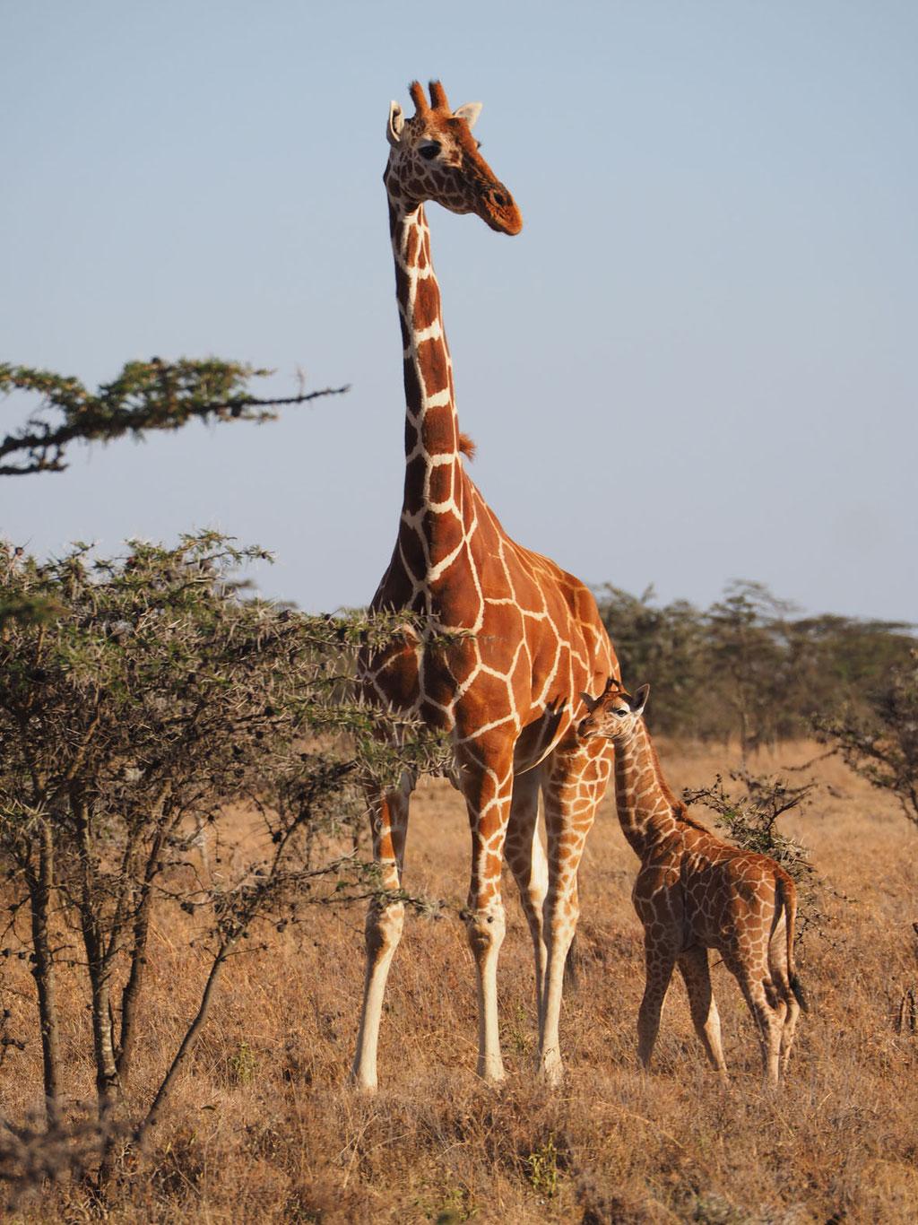 Kenia, Laikipia Plateau: Giraffe mit 2 Wochen altem Jungtier