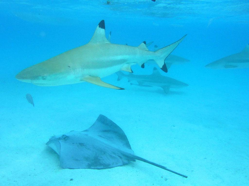 Moorea/Franz. Polynesien: Riffhaie und Rochen in der Lagune werden gefütter, so dass Schnorchler sie von nahem beobachten können