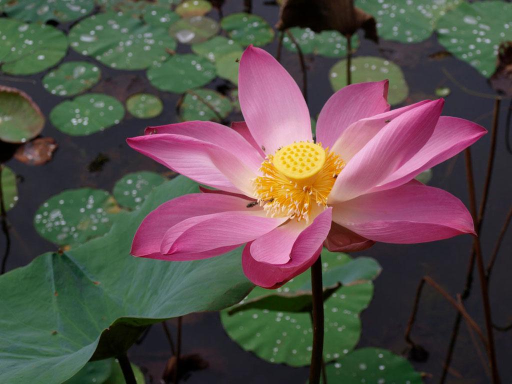 Vietnam: Lotusblüte
