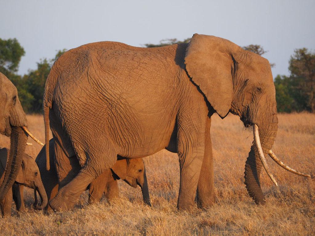 Kenia, Laikipia Plateau: Elefanten
