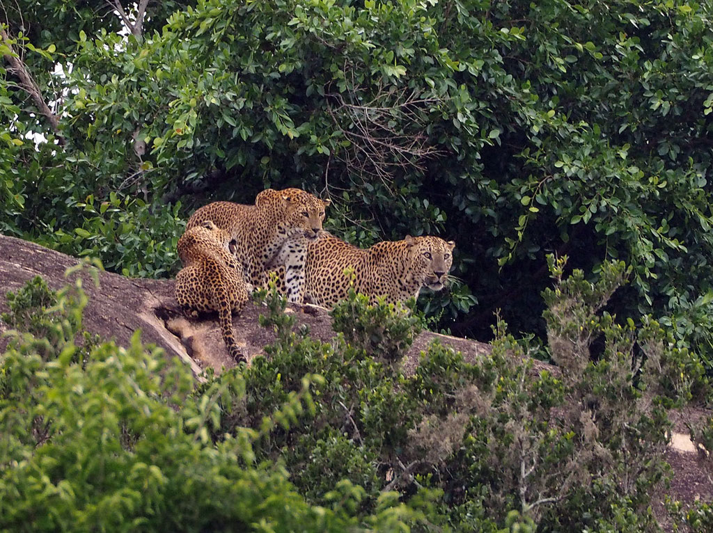 Sri Lanka, Yala Nationalpark: Leoparden