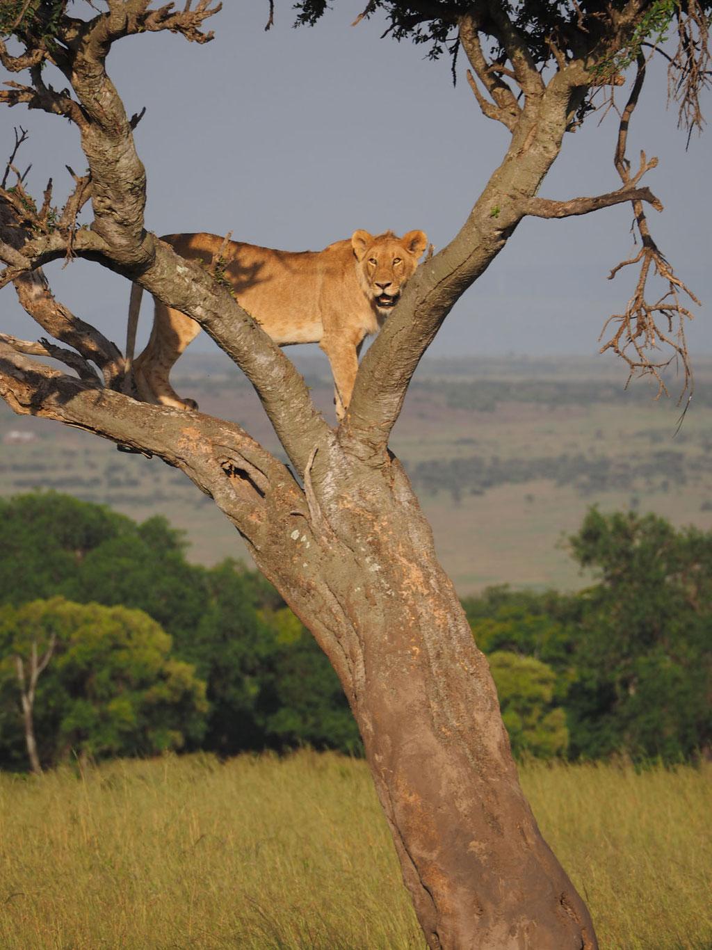 Kenia, Masai Mara: einer der wenigen Löwen, die auf Bäume klettern (weil ihnen der Abstieg nicht so leicht fällt)