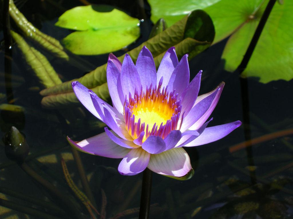 Vietnam: blaue Seerose
