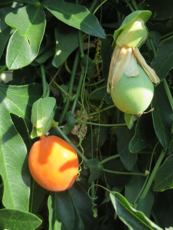 Reife und untreife Passionsfrucht