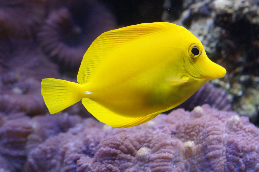 lemon-doktorfisch | Rotes Meer