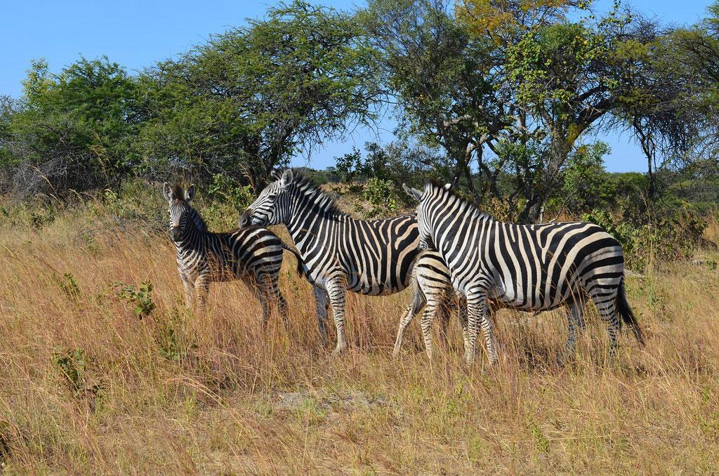 Zebras in Simbabwe