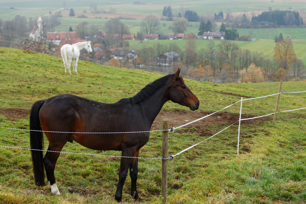 Pferdekoppel bei Kleinweil (Sindelsdorf)