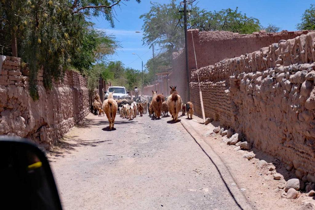 Lamaherde im dörfliche San Pedro de Atacama