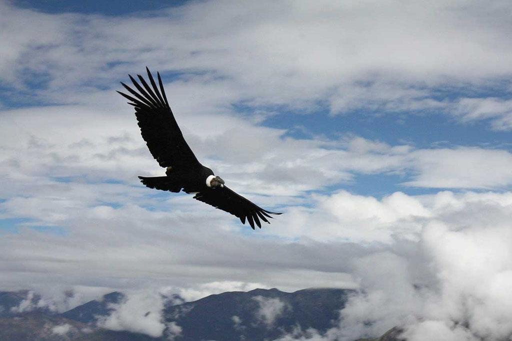 Kondor am Mirador de los Condores