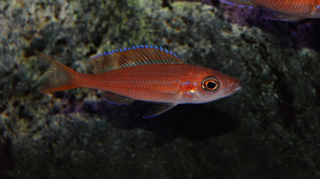 Paracyprichromis nigripinnis blue neon самка